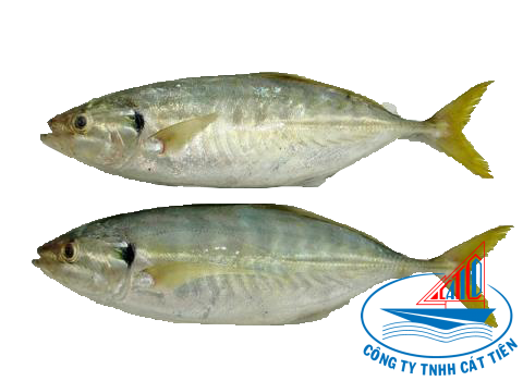 Yellow tail scad Fish